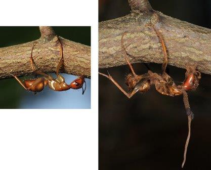 Муравьи, убитые Ophiocordyceps в холодное время года © Kim Fleming