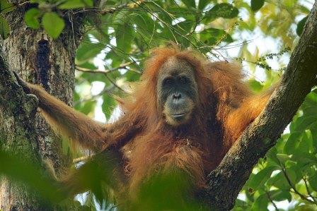 Самка тапанульского орангутана © Tim Laman