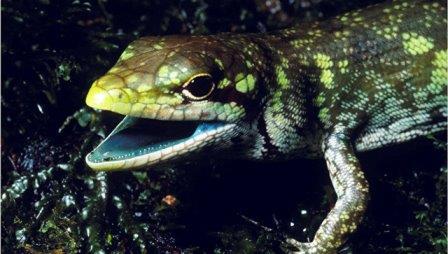 Зеленокровный сцинк, чью генетическую историю раскрыли ученые © Chris Austin, LSU