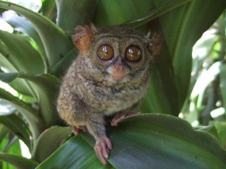 Восточный долгопят (Tarsius tarsier) © Midori/Wikimedia Commons