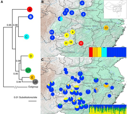 Гаплогруппы мтДНК и генетическая структура пойманных диких и выращиваемых на фермах китайских исполинских саламандр.