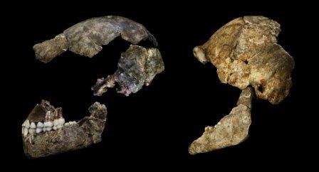 Черепа Homo naledi.