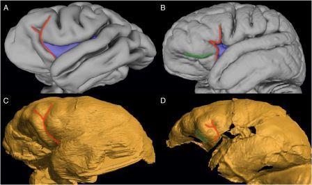 Эндокраны, слева направо: Шимпанзе, современный человек, австралопитек седиба MH1, наледи DH3 Иллюстрация из обсуждаемой статьи