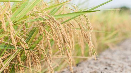 Генномодифицированный рис увеличил количество урожая на треть