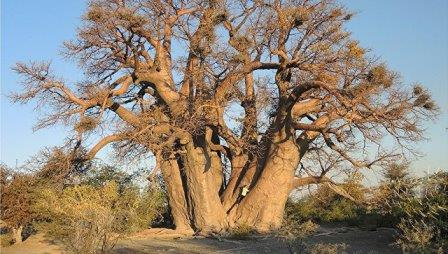Баобаб Чапмэн, дерево возрастом в 1300 лет, погибшее в 2016 году © Patrut et al. / Nature Plants 2018