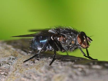 Calliphora vicina © Aiwok/Wikimedia Commons