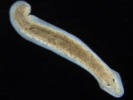 Плоский червь Dugesia subtentaculata © Eduard Solà/Wikimedia Commons