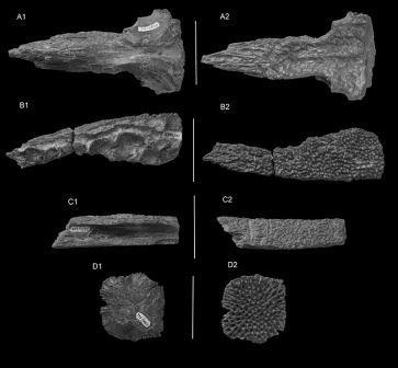 Части черепа Kansajsuchus extensus © Thomas J.D. Halliday, Marco Brandalise De Andrade, Michael J. Benton, and Mikhail B. Efimov