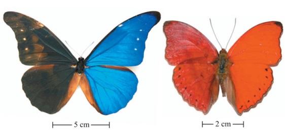 Рис. 1. Слева — бабочка Morpho rhetenor, крылья которой служат примером структурной окраски