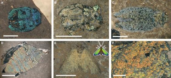 Рис. 2. Ископаемые насекомые из Германии с сохранившейся структурной окраской