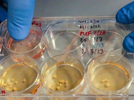 Выращенные исследователями органоиды © J. Cohen/Science