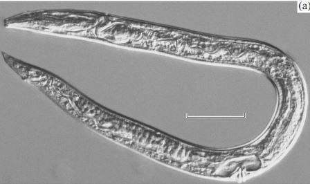 Panagrolaimus detritophagus Фото из обсуждаемой статьи вDoklady Biological Sciences