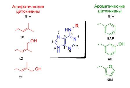 Рис 1. Структура природных цитокининов (iP – изопрениладенин; cZ –цис-зеатин; tZ –транс-зеатин;  BAP –бензиламинопурин; mT –мета-тополин; KIN – кинетин)