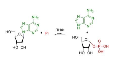 Схема 1. Обратимый фосфоролиз аденозина. Pi – неорганический фосфат