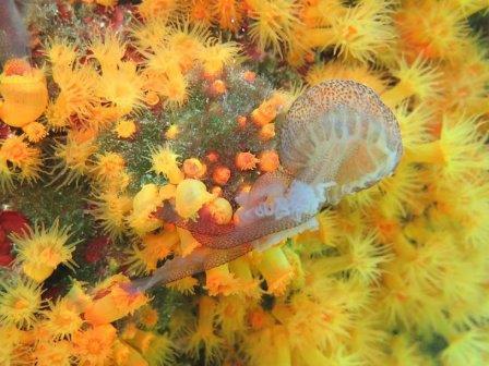 Медуза, захваченная коралловыми полипами © Musco et al.