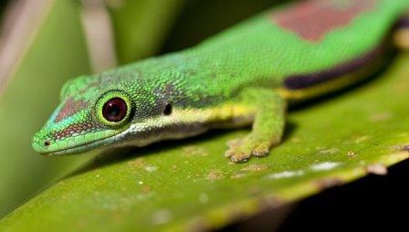Мадагаскарский дневной геккон © РИА Новости / Антон Денисов