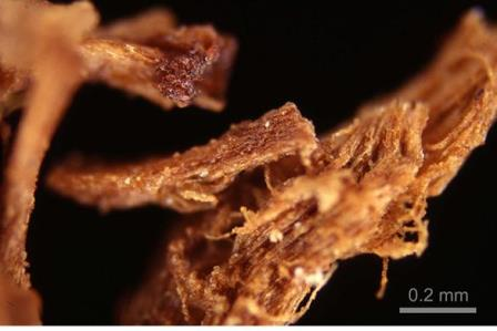 Остатки смолы на волокнах ткани под световым микроскопом  (погребение 3528, Мостагедда, бадарийская культура)