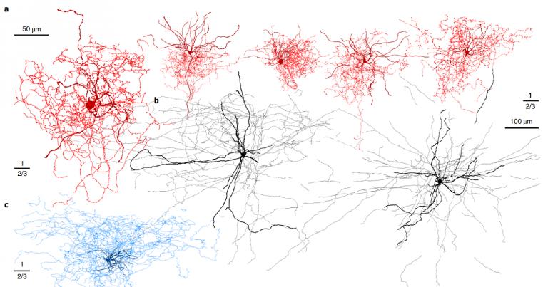 Клеткишиповника (rosehip cells) ©Nature Neuroscience
