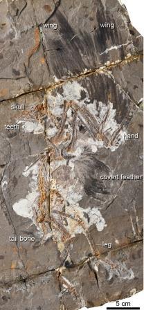Размах крыльев найденных останков Jinguofortis perplexus  оценивается в 69,7 сантиметра  ©Wang et al., 2018