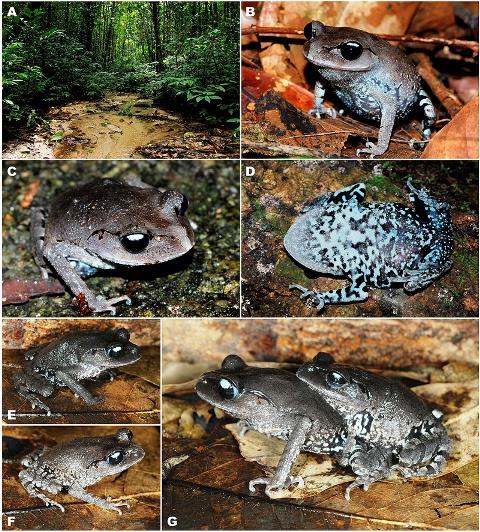 (A) Естественная среда обитания в местности типа в горах Кхао Лаем, район Суан Фунг, провинция Ратчабури