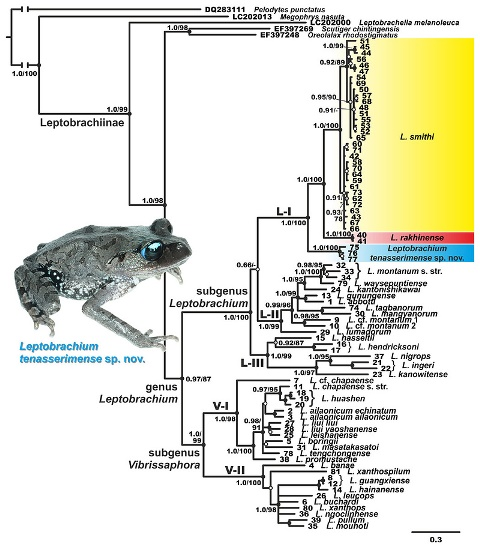 Филогенетическое древо для Leptobrachium