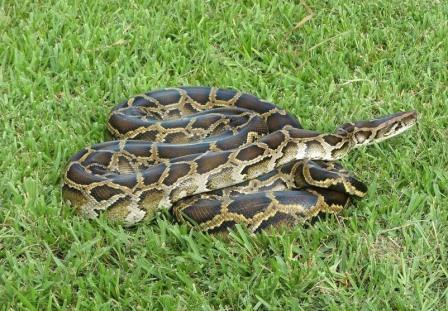 Python bivittatus © U.S. Fish and Wildlife Service Headquarters/Wikimedia Commons