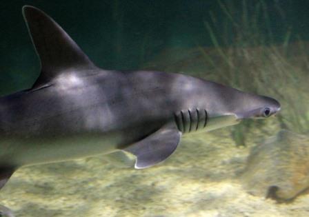 Акула-лопата ©Yinan Chen