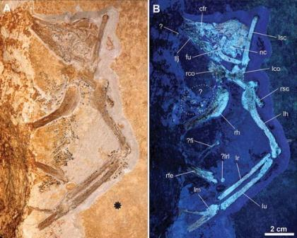 ЧерепArcheopteryx albersdoerferi(SNSB BSPG VN-2010/1). 3D-визуализация костей черепа (a) и окаменелых черепных костей в УФ-свете (b). © Manchester University