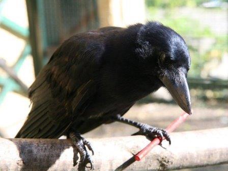 Corvus moneduloides © Auguste von Bayern