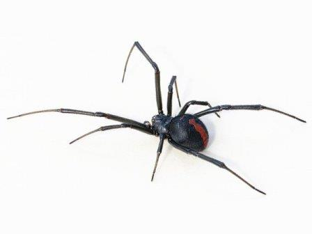 Latrodectus hasseltii © Toby Hudson/Wikimedia Commons