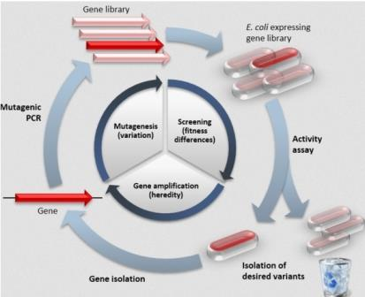 Принципиальная схема направленной эволюции белков
