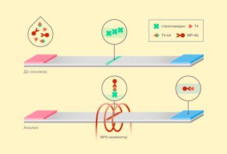 Схема предложенного метода детекции тироксина (обозначения: Т4— тироксин, Т4-bit— бифункциональный лиганд тироксина с биотином, МP-Аб— антитела к биотину, меченные магнитными наночастицами) © пресс-служба МФТИ