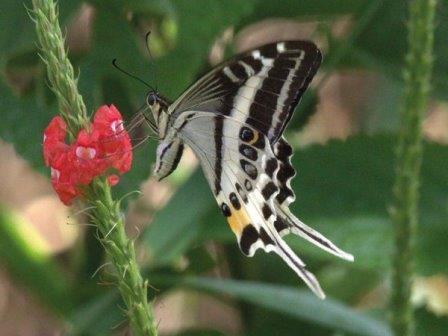 Papilio natewa © Greg Kerr