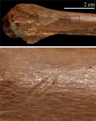 """Останки древнего """"быка"""" со следами рубил первых представителей рода Homo © I. Caceres"""