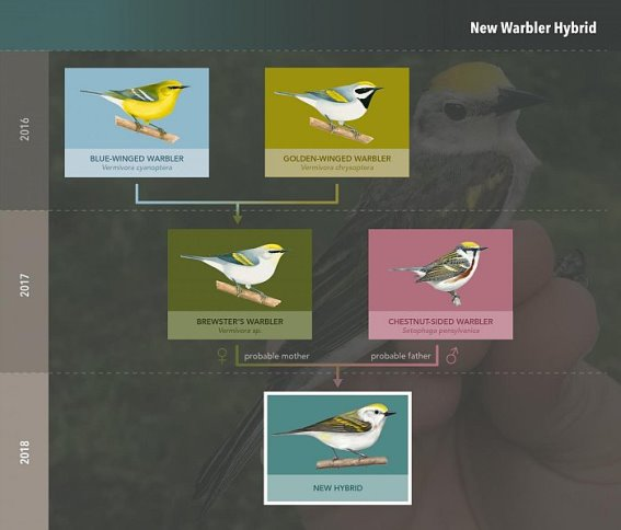 ©Cornell Lab of Ornithology