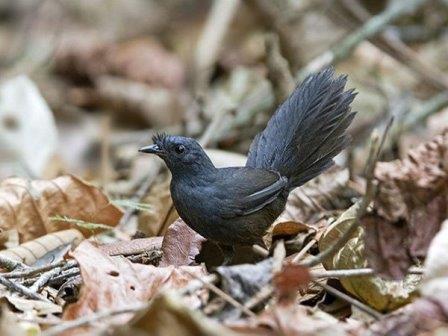 Топаколо Штеземана © Ciro Albano/American Bird Conservancy