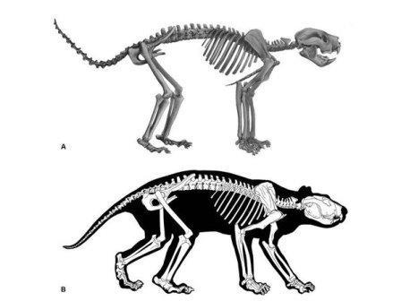 Реконструкция скелета и формы тела сумчатого льва © Roderick T. Wells et al.