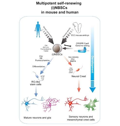 Схематичное отображение процесса перепрограммирования и превращения в различные виды ткани ©Cell Stem Cell