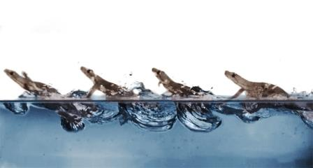Это составное изображение отслеживает походку геккона, когда он пересекает резервуар с водой, оставаясь на поверхности, хлопая водой ногами и получая дополнительную помощь от поверхностного натяжения © PAULINE JENNINGS /Science News