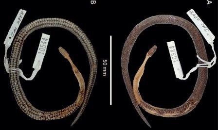 Останки найденной змеи ©Jonathan Campbell