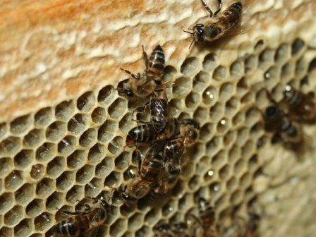 Капские медоносные пчелы (Apis mellifera capensis) ©Discott/Wikimedia Commons