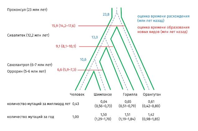 Частота мутаций человека и человекообразных обезьян и основанное на ней дерево расхождения видов ©Nature ecology & evolution