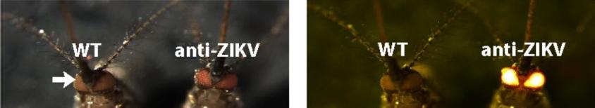 Глаза (стрелочка) дикого комара (WT) и модифицированного комара (anti-ZIKV) в обычном освещении и освещении, в котором хорошо заметна флуоресценция © Anna Buchman et al. / PNAS