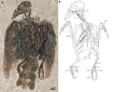 Слева — окаменелости, справа — рисунок скелетаEofringillirostrum boudreauxi © D.Ksepka, L.Grande and G.Mayr / Current Biology, 2019