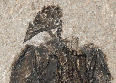 Eofringillirostrum boudreauxi жил около 52 миллионов лет назад. Это древнейшая известная птица, которая питалась семенами. © Lance Grande, Field Museum