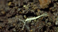 Haplocampa wagnelli © Felix Ossig-Bonanno