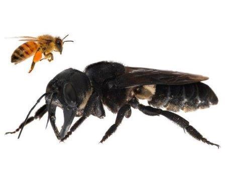 Гигантская пчела Уоллеса (Megachile pluto)© Clay Bolt