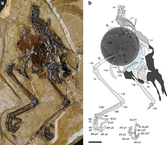 Фото окаменелости авимайи (слева) и описание ее скелета (справа). Раздавленное яйцо на схеме справа выделено голубым, а хвостовое оперение — темно-серым© Alida M. Bailleu et al. / Nature Commnunications / CC BY 4.0
