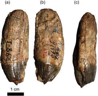 Клык Kamoyapithecus KNM-LS 8