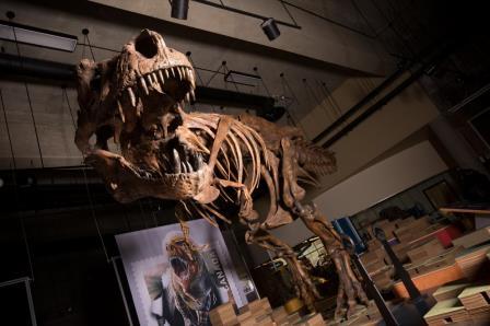 Tyrannosaurus rex © Amanda Kelley
